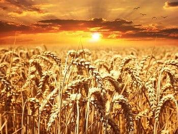 Un champ de blé. Comment investir dans les céréales ?